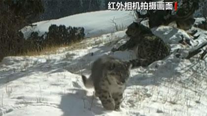"""青海玉樹:雪豹一家三口同框""""出鏡"""""""