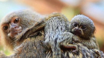 """體長5厘米 """"世界最小猴子""""亮相"""