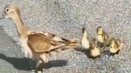 鴛鴦寶寶過馬路 路人自發圍安全帶避車流