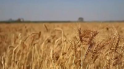 全國麥收過八成 小麥種植結構持續調優