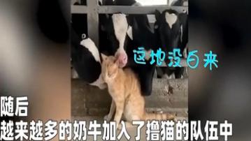 小貓誤入養牛場 奶牛們集體擼貓