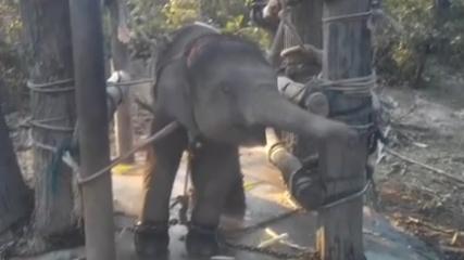 """雙重摧殘 泰國小象""""虐馴""""視頻曝光"""