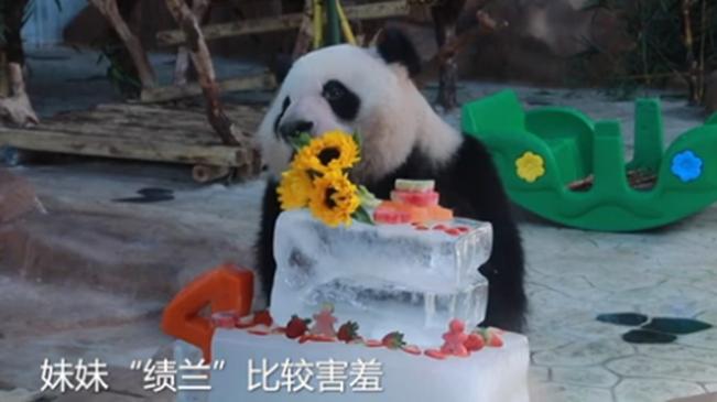 龍鳳胎大熊貓過生日啦!
