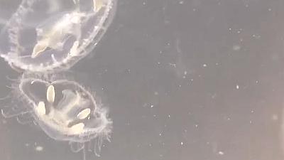 海南:發現世界級瀕危動物桃花水母