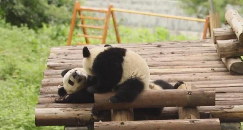 陜西:龍鳳胎大熊貓滿周歲 活潑好動萌態十足