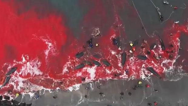 數百頭鯨魚和海豚遭捕殺 鮮血染紅丹麥海灣