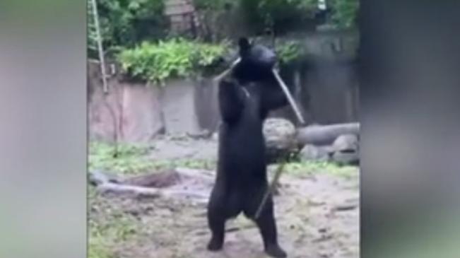 """身手敏捷 日本""""功夫黑熊""""耍三節棍走紅"""