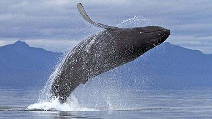 """驚呆!平靜海面躍出鯨魚 釣魚父女瞬間""""石化"""""""