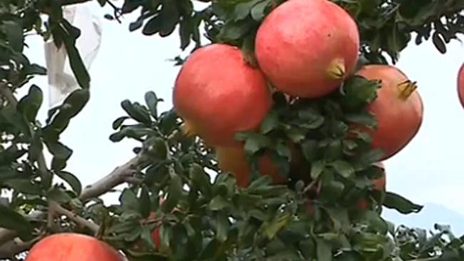 雲南會澤:五萬畝石榴豐收 拓寬銷售渠道保障收益
