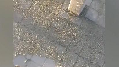 成群蚜蟲入侵俄羅斯城市街道