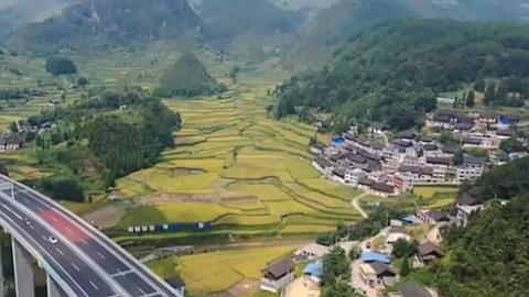 貴州丹寨:8.55萬畝水稻開鐮 魚米雙收樂農家