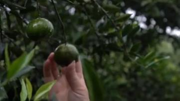 中國農民豐收節:陳皮喜獲豐收 豐收之後曬經驗學榜樣