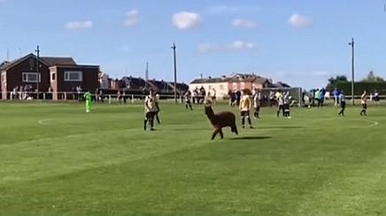 英國:不速之客 羊駝亂入足球賽