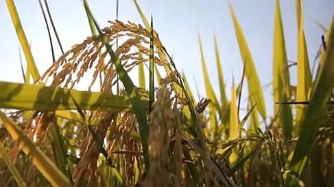今年我國糧食再獲豐收:水稻 玉米 大豆綠色發展增勢明顯