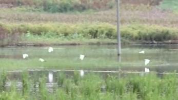 貴州貞豐:上百只黃嘴白鷺棲息聚集