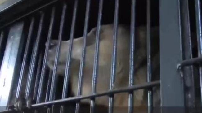 悲劇!俄馬戲團演員將自己鎖籠內被熊咬死