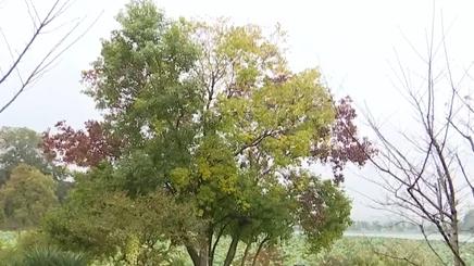 江蘇南京:玄武湖三色烏桕樹 盡顯斑斕秋色
