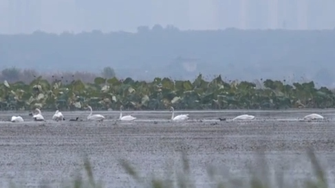 山西平陸:首批越冬大天鵝提前抵達黃河濕地