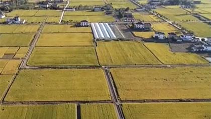 江蘇海安:千畝早熟稻收割 新品種新技術助農增收