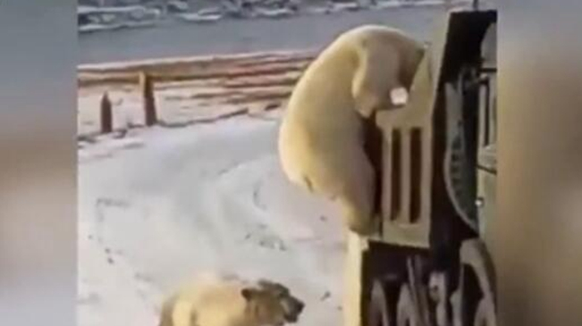 """心酸!冰川消融 饑餓北極熊""""打劫""""垃圾車"""