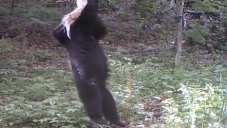 """""""虎嘯山林"""" 首次找到東北虎吃熊的珍貴影像證據"""