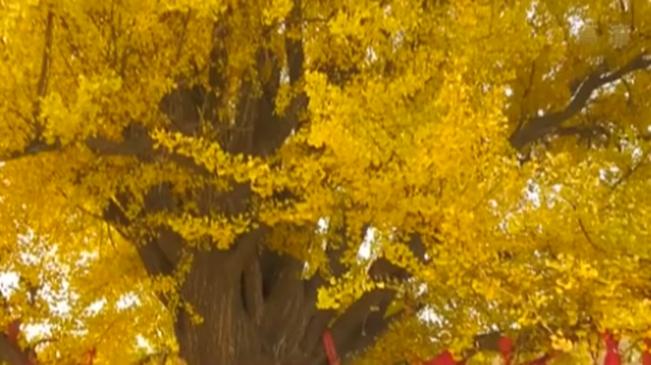遼寧大連:千年銀杏 滿樹金黃
