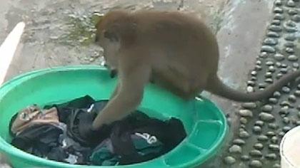 輕搓細揉 印尼野猴模倣人洗衣走紅