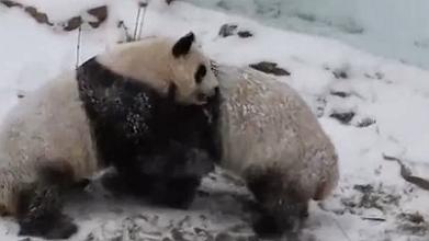 青海西寧:多地現降雪天氣 大熊貓雪中撒歡兒