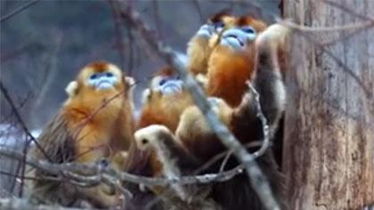 神農架:抱團取暖的雪中金絲猴