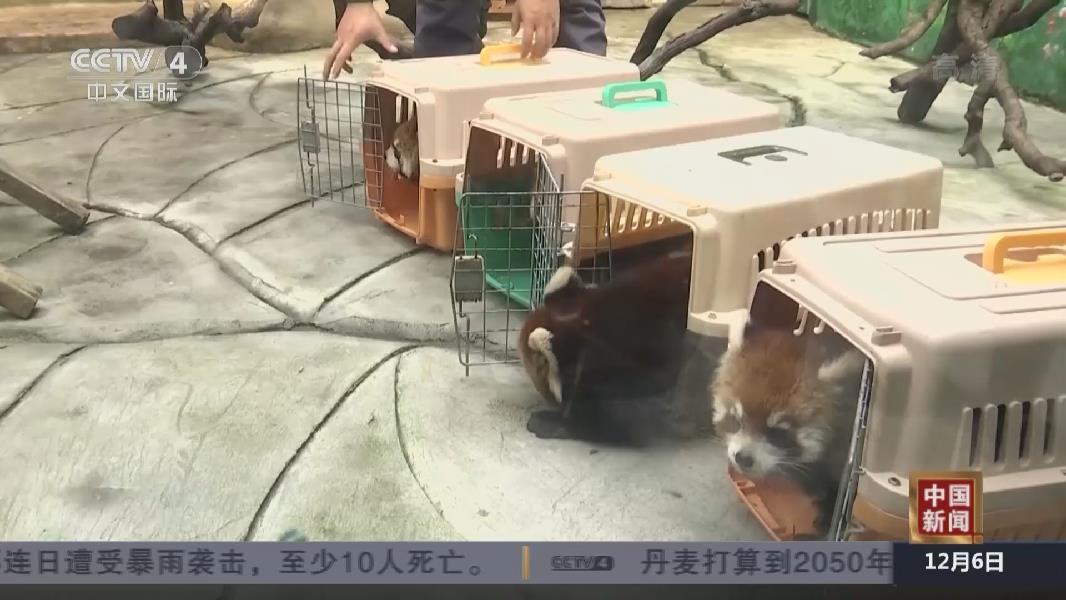 江蘇常州:自主繁育的11只小熊貓與遊客見面