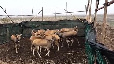 湖南岳陽:北京麋鹿來洞庭湖投親靠友