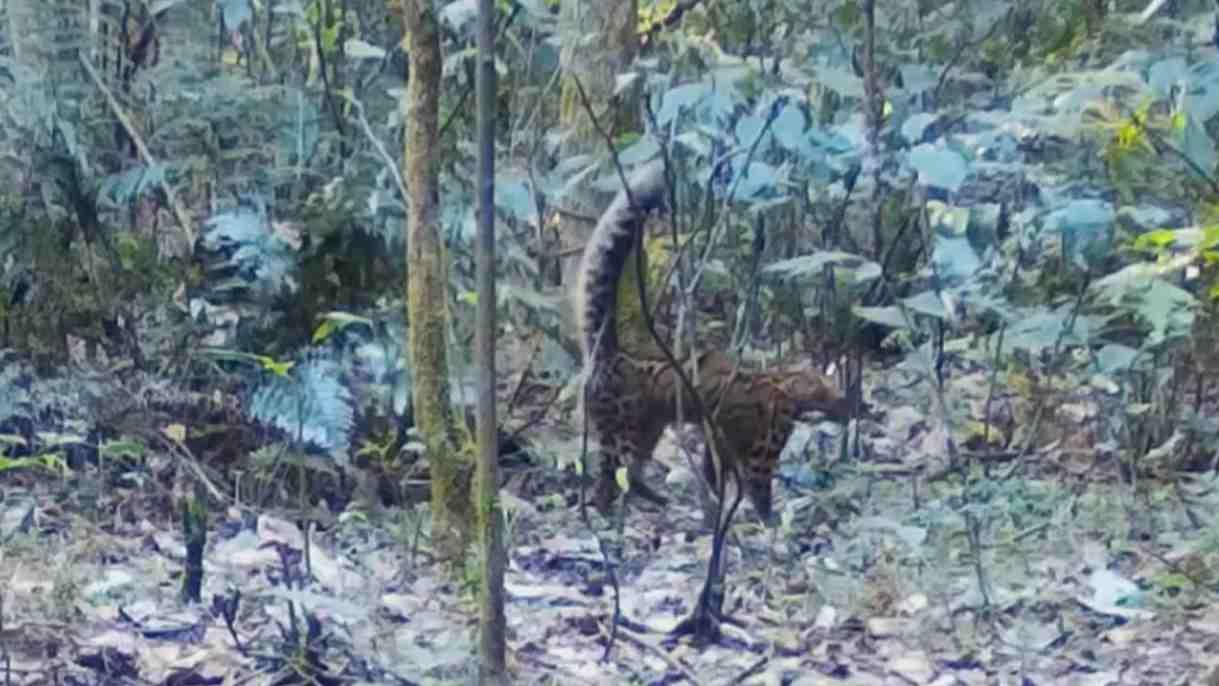 雲南:野外非紅外相機首次拍到雲貓