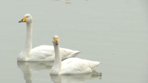 山西芮城:聖天湖迎來上千只越冬大天鵝