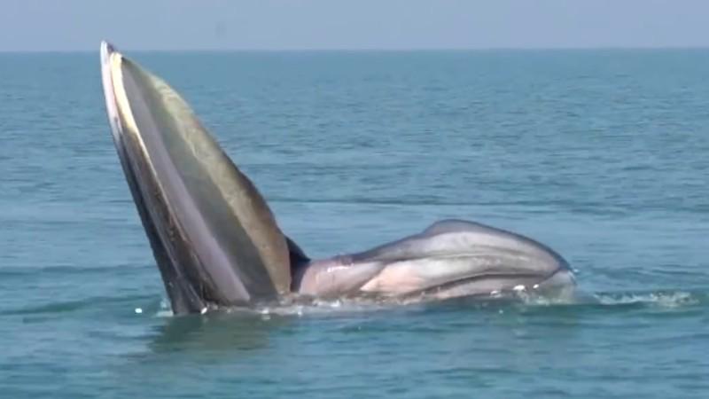 罕見!布氏鯨首次主動靠近科研船