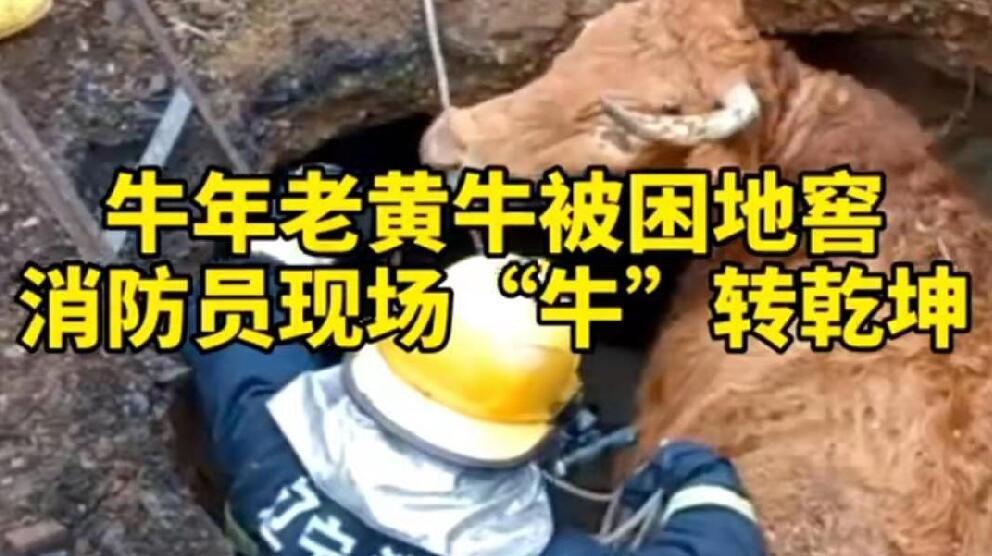 """牛年老黃牛被困地窖,消防員現場""""牛""""轉乾坤!"""