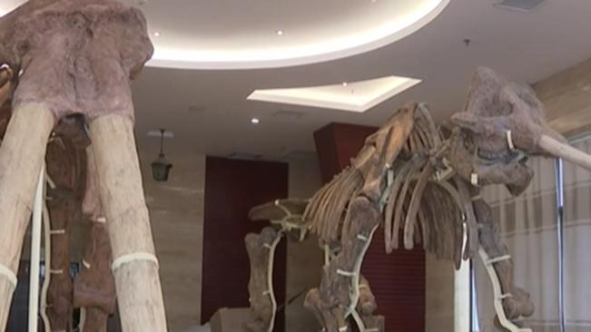 雲南昭通:劍齒象骨架模型修復 恢復600萬年前巨無霸風採