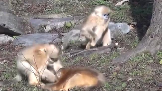 """陜西:動物個體識別係統可精準識別""""猴臉"""""""
