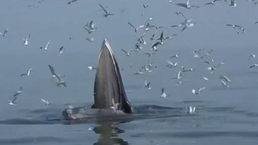 廣西:科研團隊拍攝到潿洲島布氏鯨捕食畫面