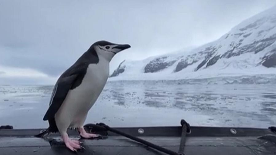 """南極洲企鵝搭上遊客""""順風船"""""""