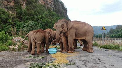 大象去哪兒? 昨天野象群在玉溪易門活動