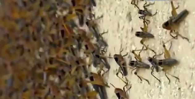 恐怖! 漫天飛舞 俄邊疆區遭蝗蟲、瓢蟲侵襲