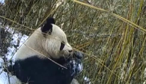 四川松潘:視頻拍到大熊貓啃食竹葉及標記領地畫面