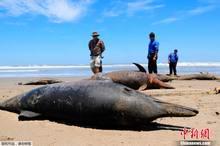 秘魯海岸近千海豚擱淺後死亡 原因不明