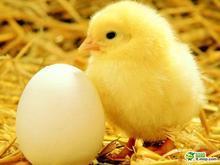 先有雞先有蛋別再爭 母雞胎生小雞罕見