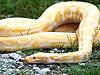 3米黃金蟒跑出 女孩尋蛇告示嚇壞四鄰