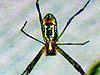 這只蜘蛛會唱京劇?腹部圖案似臉譜