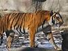 男子動物園跳入虎穴 稱測試自己恐懼感