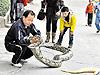 東莞父子當街遛兩百斤大蟒蛇 市民側目