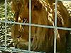 美發生動物園女員工遭非洲獅襲擊喪命