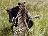 實拍:非洲獵豹偷襲年幼角馬反被頂倒